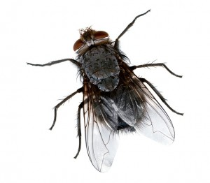 fly-743752_640