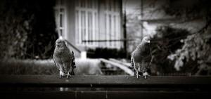 pigeons-620412_640