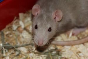 rat-369105_640